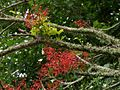 Brachychiton acerifolius 001- Flame Tree - by Tatters.jpg