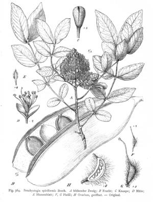 Brachystegia spiciformis - Image: Brachystegia spiciformis