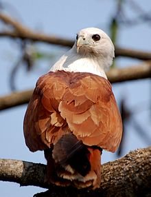Brahminy Kite near Chalakudy, India