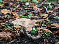 Branching fungus (10493562455).jpg