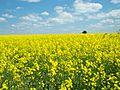 Brassica napus field..jpg