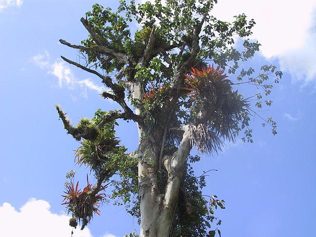 Bromeliaceae on a tree, Costa Rica (Atlantic area)