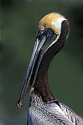 Brown Pelican in Mating Plumage.jpg