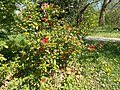 Buda Arboreta. Upper garden. Japanese fruit (Chaenomeles japonica). - Budapest District XI.JPG
