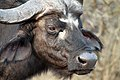 Buffalo, Kruger National Park, South Africa (14800806340).jpg
