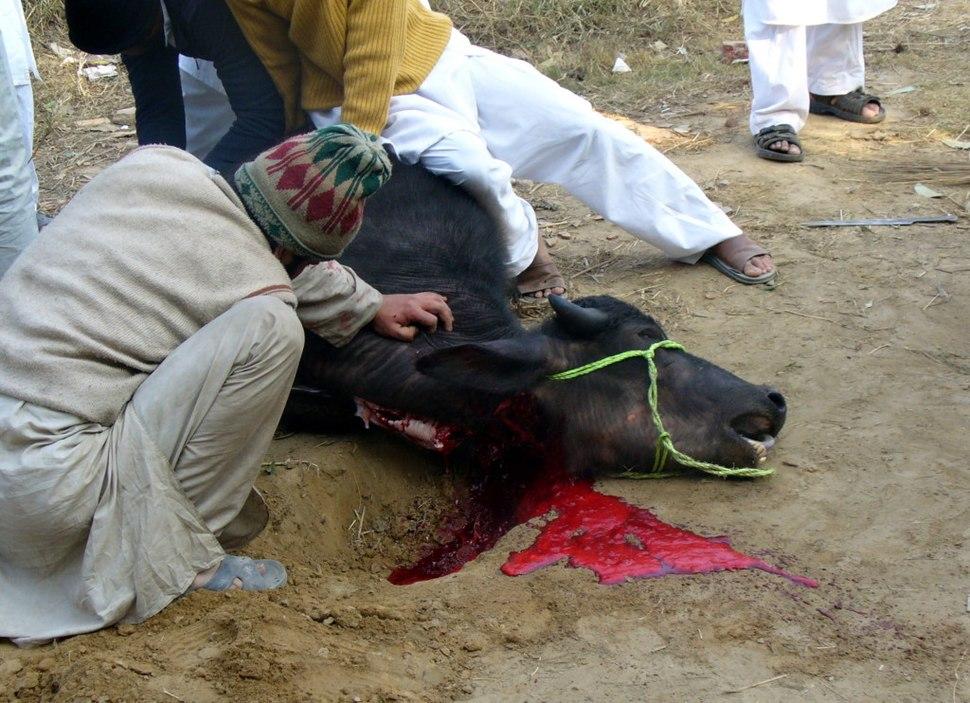 Buffalo throat cut during slaughter