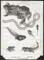 Bufo fuscus - 1700-1880 - Print - Iconographia Zoologica - Special Collections University of Amsterdam - UBA01 IZ11500099.tif