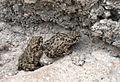 Bufotes variabilis - Variable Toad 02.jpg