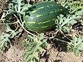 Bulgarian watermelon.JPG