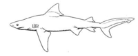 Image Result For Meko Shark Coloring