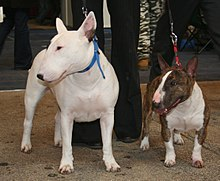 Gifts for Bull Terrier Dog Lovers