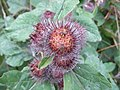 Burdock - geograph.org.uk - 1447270.jpg