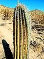 Burned Saguaro Cactus.jpg