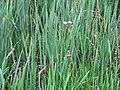Butomus umbellatus 5446655.jpg