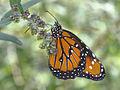 Butterfly (6041857571).jpg