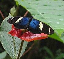 Butterfly panama.jpg