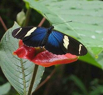 Heliconius - Sara longwing (Heliconius sara)
