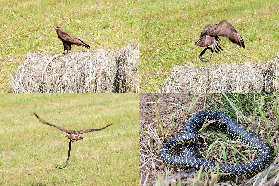 Buzzard caught an Aesculapian Snake but flew away and lost his prey, so I could take a photo of the snake