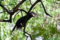 Bycanistes brevis -Lake Manyara National Park, Tanzania-8.jpg