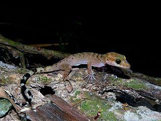 <i>Cyrtodactylus rubidus</i> Species of lizard
