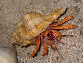 Description de l'image C.violascens Chicoreus microphyllus 1.jpg.