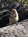 CA ground squirrel eating, Glacier Point.jpg