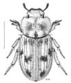 COLE Tenebrionidae Actizeta albata.png