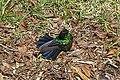CRI 08 2009 Violet-tailed hummingbird Volcan Poas 6713.JPG