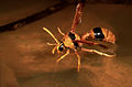 CSIRO ScienceImage 416 Mud dauber wasp.jpg