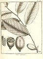 Cacao sylvestris Aublet 1775 pl 276.jpg