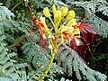 Caesalpinia gilliesii FlowersCloseup 15July2009 TorreLaMata.jpg