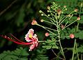 Caesalpinia pulcherrima (Dwarf Poinciana) W2 IMG 1591.jpg
