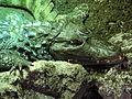 Caiman crocodilus - Vivarium de Meyrin 02.JPG