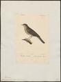 Calamodyta fluviatilis - 1842-1848 - Print - Iconographia Zoologica - Special Collections University of Amsterdam - UBA01 IZ16200103.tif