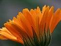 Calendula Petals (2623463544).jpg