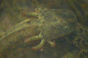 California tiger salamander - Larvae have gills