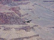 A California Condor in flight over the Grand Canyon.