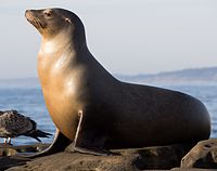 California sea lions in La Jolla (70565).jpg