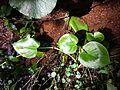 Calla palustris sl3.jpg