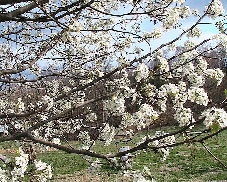 File:Callery pear pyrus calleryana tree blossoms.jpg