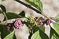 Callicarpa americana 49zz.jpg