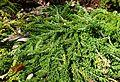 Calluna vulgaris 'White Lawn' kz4.jpg