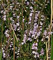 Calluna vulgaris - Flickr - S. Rae.jpg