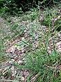 Calluna vulgaris sl27.jpg
