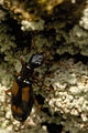 Calodromius.spilotus.-.lindsey.jpg