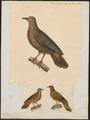 Caloenas xanthura - 1700-1880 - Print - Iconographia Zoologica - Special Collections University of Amsterdam - UBA01 IZ15600305.tif