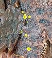 Calycina claroflava.jpg