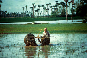 Agriculture in Cambodia - A water buffalo in a rice paddy.