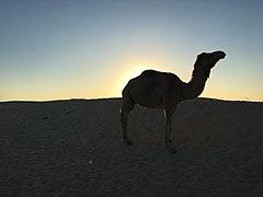 Camel shadow in desert.jpg