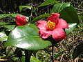Camellia japonica var. decumbens 2.JPG